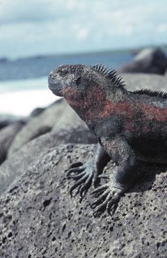 Iguane marin (Amblyrhynchus cristatus) se chauffant au soleil sur un rocher de basalte à Punta Suarez dans l'île d'Espanola aux Galapagos, un parc naturel protégé en région volcanique.