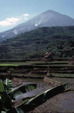 Rizières sur des terrains fertiles au pied du volcan Cikuray en Indonésie.