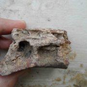 Morceau de mandibule fossile de crocodile avant.
