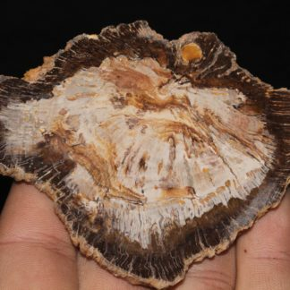 Tranche de bois fossile polie, La Calamine, Belgique.