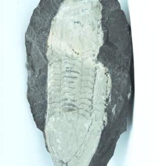 Fossile d'Illaenus giganteus, Silurien inférieur du Maine-et-Loire, Région d'Angers.